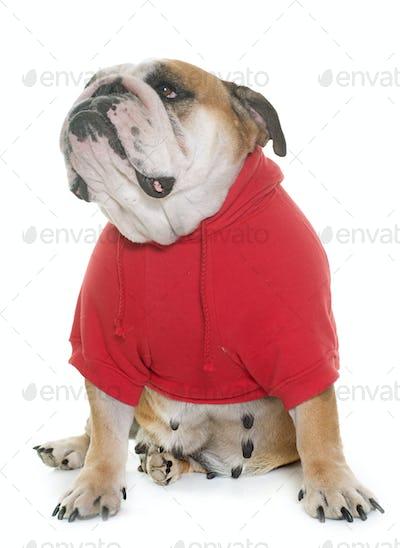 dressed english bulldog