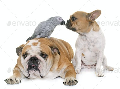 bulldogs and parrot
