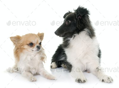 puppy shetland sheepdog and chihuahua