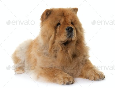 chow chow in studio