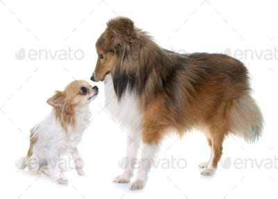 young shetland dog and chihuahua