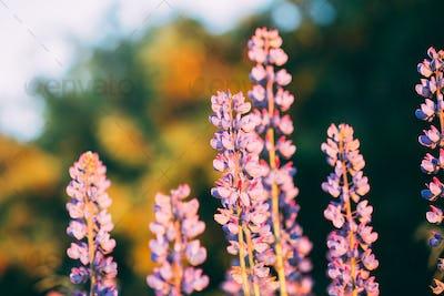 Wild Flowers Lupine In Summer Field Meadow. Close Up. Copyspace.