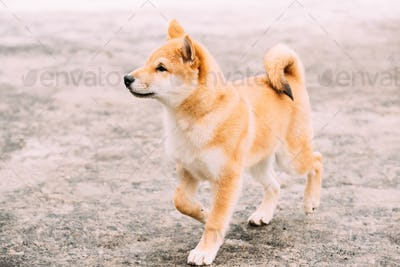 Young Japanese Small Size Shiba Inu Dog Play Outdoor At Winter D