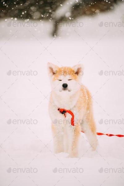 Puppy Of Akita Dog Or Akita Inu, Japanese Akita Standing In Snow