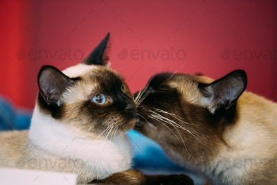 Close Up Portrait Of Mekong Bobtail Cat Kitten At Red Background
