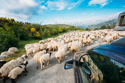 Georgia Caucasus Back View From Car Window Of Flock Of Sheep Mov