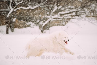 Funny Young White Samoyed Dog Or Bjelkier, Smiley, Sammy Playing