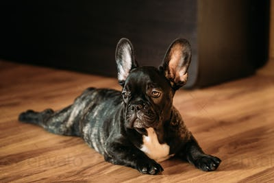 Young Black French Bulldog Dog Puppy Sit On Laminate Floor Indoo