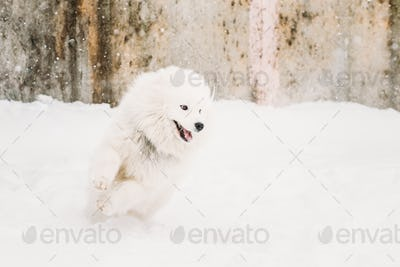Young White Samoyed Dog (Bjelkier, Smiley, Sammy) Playing Runnin