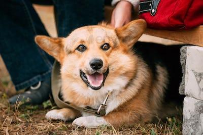 Close up portrait of young Happy Welsh Corgi dog