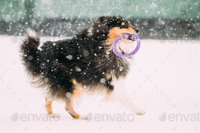 Funny Young Shetland Sheepdog, Sheltie, Collie Playing With Ring