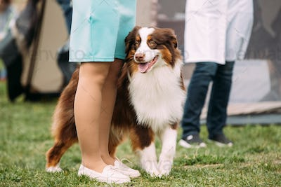 Australian Shepherd Dog Standing Near Woman In Green Grass. Auss