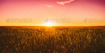 Meadow Grass In Yellow Sunlight At Later Summer Or Early Autumn