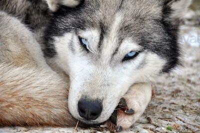 Beautiful husky dog resting