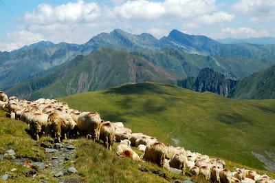 Flock of sheep in the Carpathian mountains. Highlands in Romania, Fagaras mountains