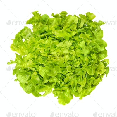 Green oak leaf lettuce from above over white