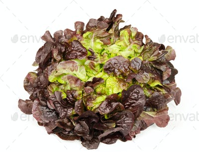 Red oak leaf lettuce front view over white
