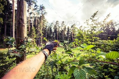 Man collects and eat blackberry on cycling trip in forest