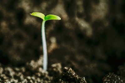 Growing Green Sprout From Soil. Spring Agricultural Season