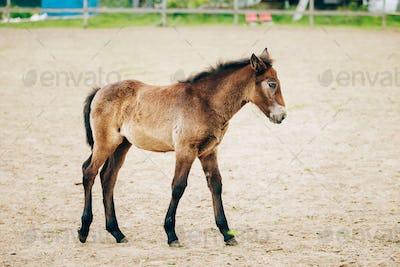 Portrait Of Brown Foal In Farm Paddock