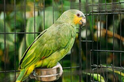Orange-winged Amazon Or Amazona Amazonica, Also Known Locally As