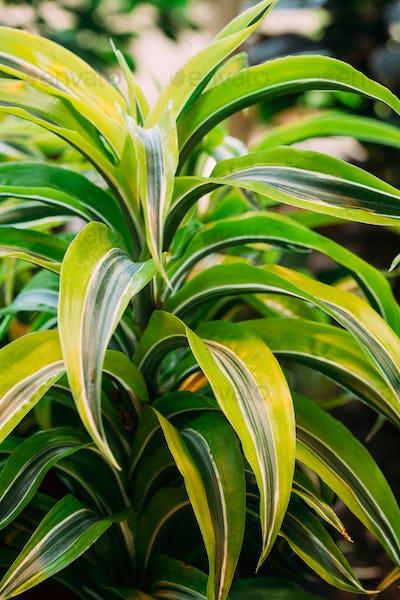 Green Leaves Of Plant Dracaena. Female Dragon Plant. Family Aspa
