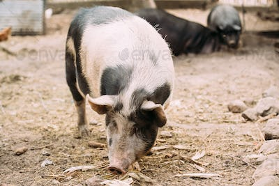 Household Pig In Farm. Pig Farming Is Raising And Breeding Of Do