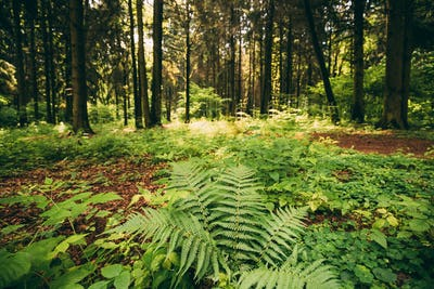 Ferns Leaves Green Foliage In Summer Coniferous Forest. Green Fe