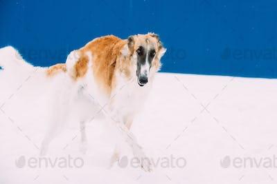Russian Wolfhound, Russian Hunting Sighthound, Russkaya Psovaya