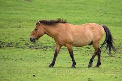Przewalski's horse on the run