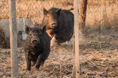 Two Pigs  Running In Farm Yard. Pig Farming Is Raising And Breed