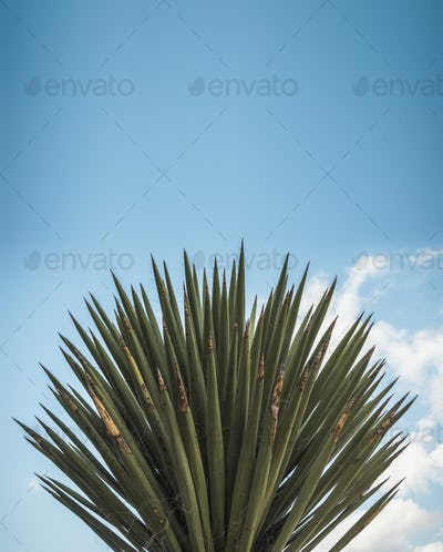 Large Agave Plant