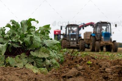 Harvesting on a beet field