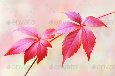 red leaves of grapes