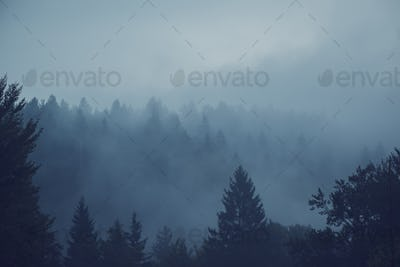 Misty forest of evergreen coniferous trees
