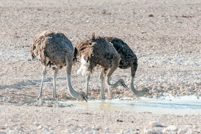 Three ostriches drinking water at a waterhole in Northern Namibia