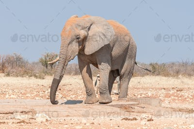 African elephant, Loxodonta africana, covered with red sand