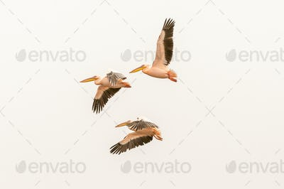 Great white pelicans flying at the lagoon in Walvis Bay