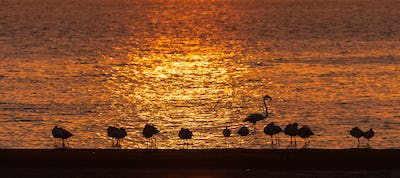 Silhouettes of Greater Flamingos at sunset at Walvis Bay
