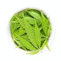 Cannabis leaves, hemp leaves, in white porcelain bowl