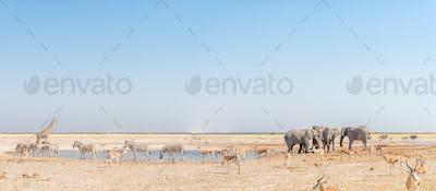 Elephant, giraffe, Burchells zebras, springbok, blue wildebeest at a waterhole