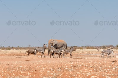 African elephant and muddy Hartmann Mountain Zebras
