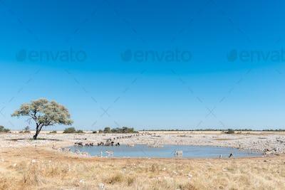 Burchells zebras, blue wildebeest and springbok drinking water