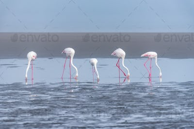 Five Greater Flamingos feeding in the lagoon at Walvis Bay