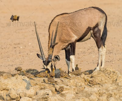 Gemsbok and Namaqua Sandgrouse