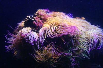 Amazing marine animals (anemonia, actinia, anemone)