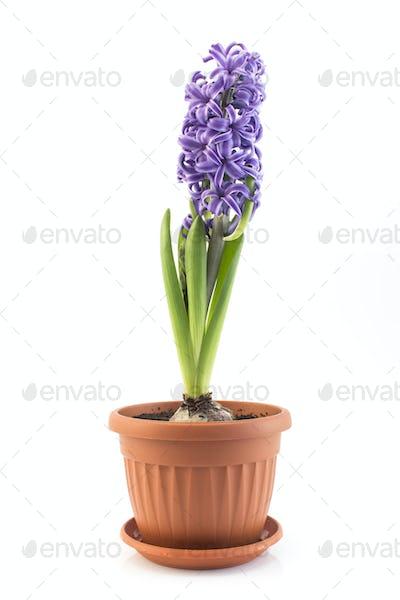 Purple Hyacinth a Potted