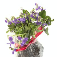 Bunch Violets, Viola Odorata,  Punch Earth