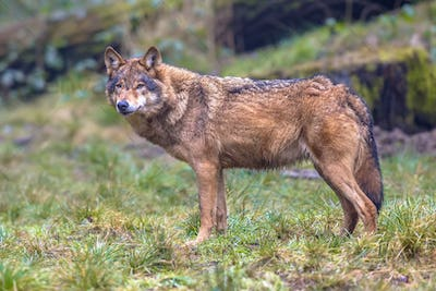 Wolf sideview in a forest