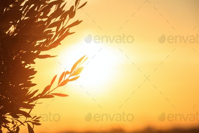 Olive tree silhouette at sunset, copy space